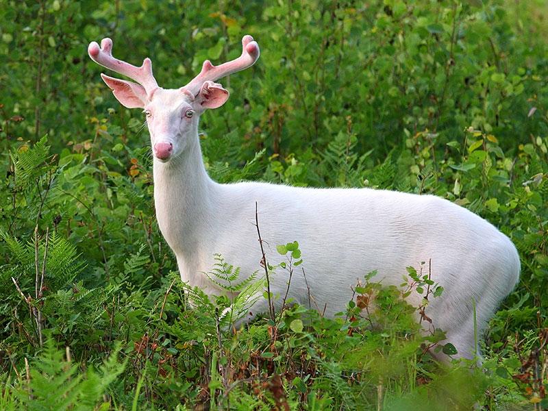 albino-deer